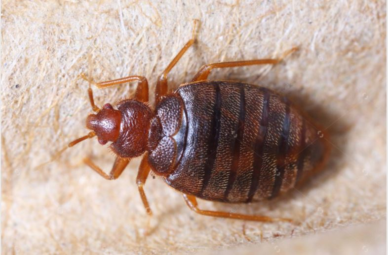 bed bugs_135556