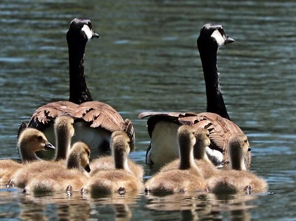 geese_1553113281132.jpg