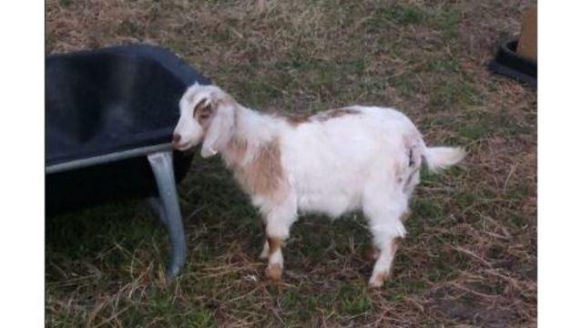 surviving goat_1553916503821.JPG_79765891_ver1.0_640_360_1553984141217.jpg.jpg