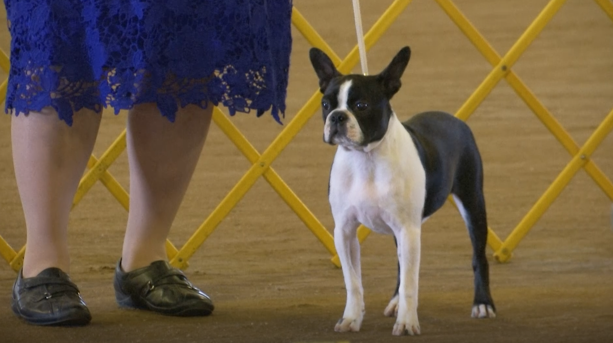 Myrtle Beach Kennel Club hosts its first dog show in two years